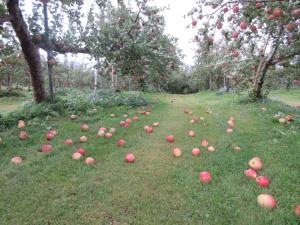 台風21号によるりんご落下
